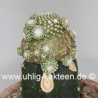 Blossfeldia liliputana   tarabucoensis`   gepfr.