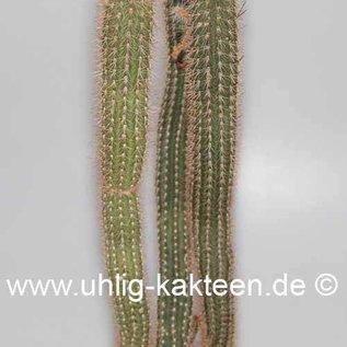 Cleistocactus aff. spec.