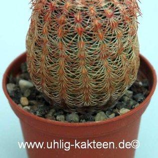 Echinocereus rigidissimus   Santa Rita, südl. A2