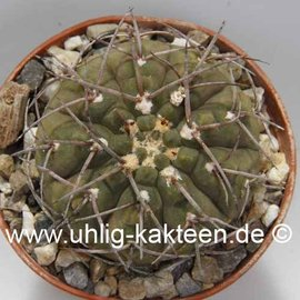 Gymnocalycium bodenbenderianum P 222 v. mirandaense comb. prov. P 222