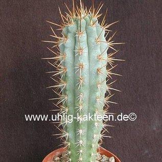 Browningia hertlingiana  KK 334