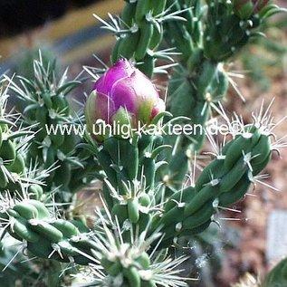 Cylindropuntia imbricata   Fremont Co Colorado    (dw)