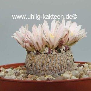 Mammillaria pectinifera      CITES