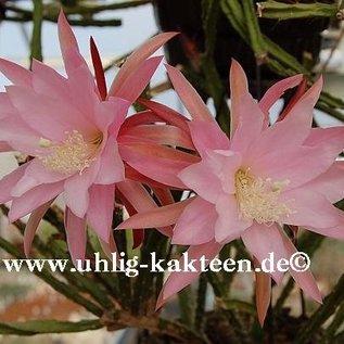 Aporophyllum-Hybr. Tempelfeuer