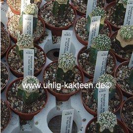 Astrophytum asterias  cv. `Super Kabuto`-Hybr.  gepfr.