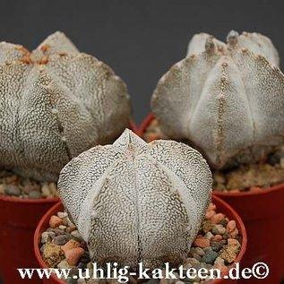Astrophytum myriostigma  X `Onzuka`  gepfr.