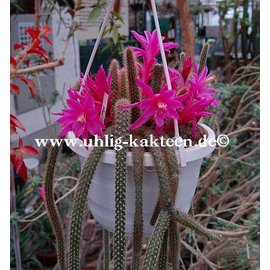 Disocactus flagelliformis  `Schlangenkaktus` (syn. Aporocactus flagelliformis)