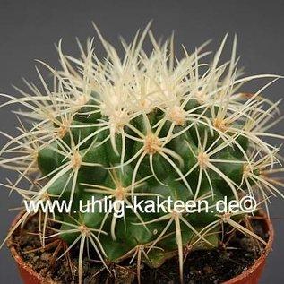 Echinocactus grusonii  cv. curvispinus `Krauskopf`