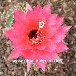 Echinopsis-Hybr. `Brunhild` Rheingold 255
