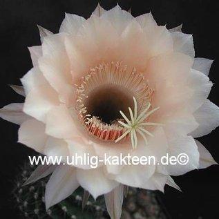 Echinopsis-Hybr. `Cielo`