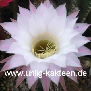 Echinopsis-Hybr. `Harry`