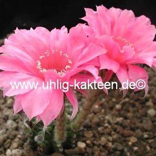 Echinopsis-Hybr. `Johann Strauss` Rheingold 216