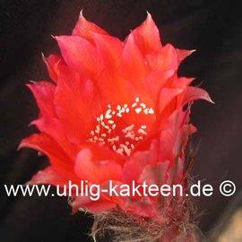 Echinopsis-Hybr. `Nummer IB` Rheingold 210