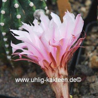 Echinopsis-Hybr. `Passo CM 29`