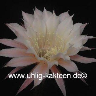 Echinopsis-Hybr. `Passo CM 03 Elfenbein`
