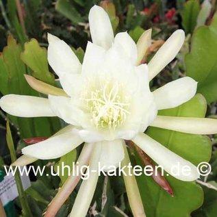 Epiphyllum-Hybr. `Castra de Oro`