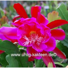 Epiphyllum-Hybr. Clara Sanders