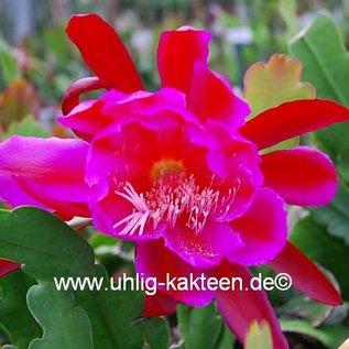 Epiphyllum-Hybr. `Clara Sanders`