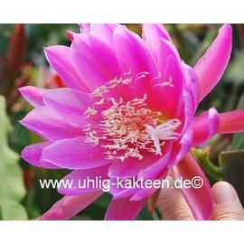 Epiphyllum-Hybr. `Erhart de le Metre`