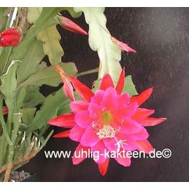 Epiphyllum-Hybr. `Hans Mitterer`