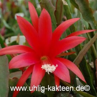 Epiphyllum-Hybr. Maiendank  PE 105