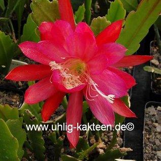 Epiphyllum-Hybr. `Maientraum` PE 121