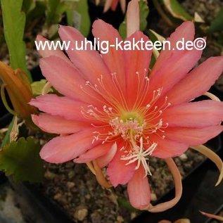 Epiphyllum-Hybr. `Salmon Ketsch`    Blüte rosa-lachs-violett / rose-salmon-violet