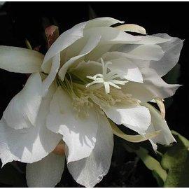 Epiphyllum-Hybr. Schlesien