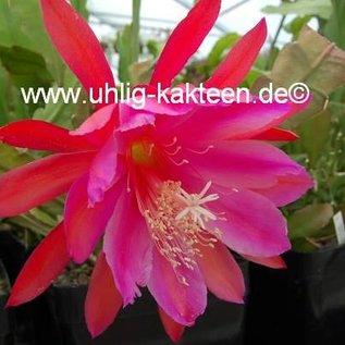 Epiphyllum-Hybr. `Vogelii`
