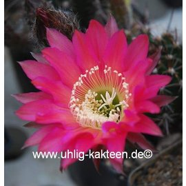 Lobiviopsis aff. `ASO`    Blüte blassrotpink, groß / pale redpink, big