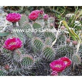 Opuntia hystricina-Hybr.  Halblech`, Blüte dunkellila / darklilac     (dw)
