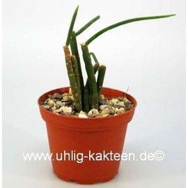 Rhipsalis floccosa ssp. pulvinigera aff. HU 847