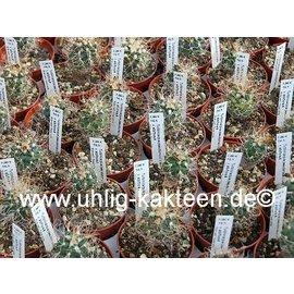 Turbinicarpus pseudomacrochele  v. albiflora    CITES