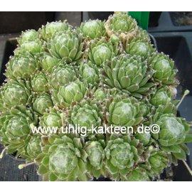 Sempervivum arachnoideum-Hybr.  ´Christel´     (dw)