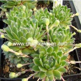 Sempervivum arachnoideum-Hybr.  ´Nobbe´ Züchter: M. Haberer 2001    (dw)