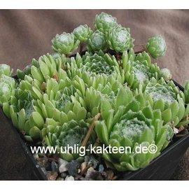 Sempervivum arachnoideum-Hybr.  ´Rosenstolz´     (dw)