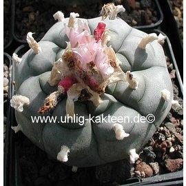 Lophophora williamsii Peyote -> on request