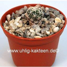 Turbinicarpus pseudomacrochele  ssp. lausseri    CITES