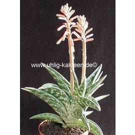 Aloe variegata ´Tiger-Aloe´  ´Tiger-Aloe´