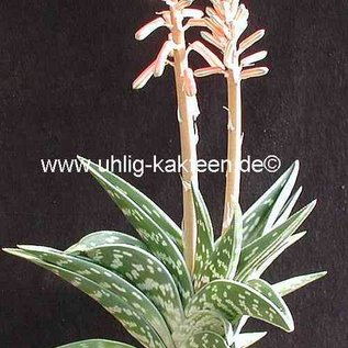 Aloe variegata  ´Tiger-Aloe´