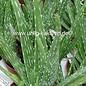Aloe vera  fa. indica Indische HEILALOE