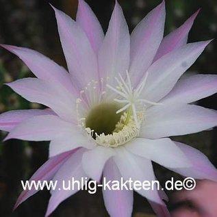 Echinopsis-Hybr. `Findelkind`