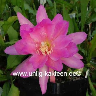 Epiphyllum-Hybr. `Ambrosia`