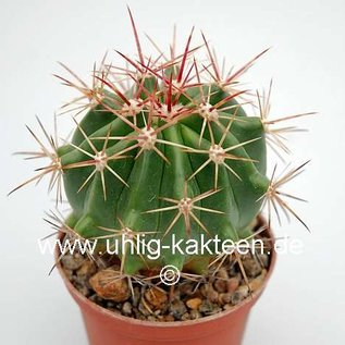 Ferocactus piliferus  x fordii
