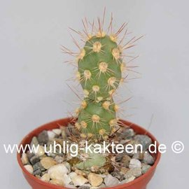 Tephrocactus dimorphus    Tierra Blanca
