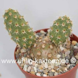 Tephrocactus kuehnrichianus  v. applanatus Typ I