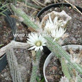 Wilcoxia albiflora