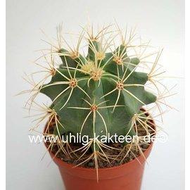 Ferocactus glaucescens  `Longispinus`