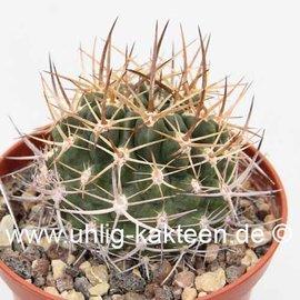 Neoporteria robusta  v. cabildensis N-Chile