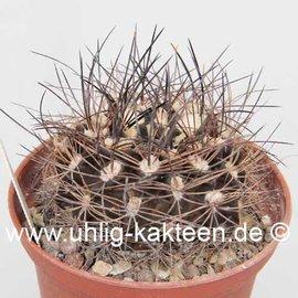 Pyrrhocactus neohankeanus v. flaviflora WK 730